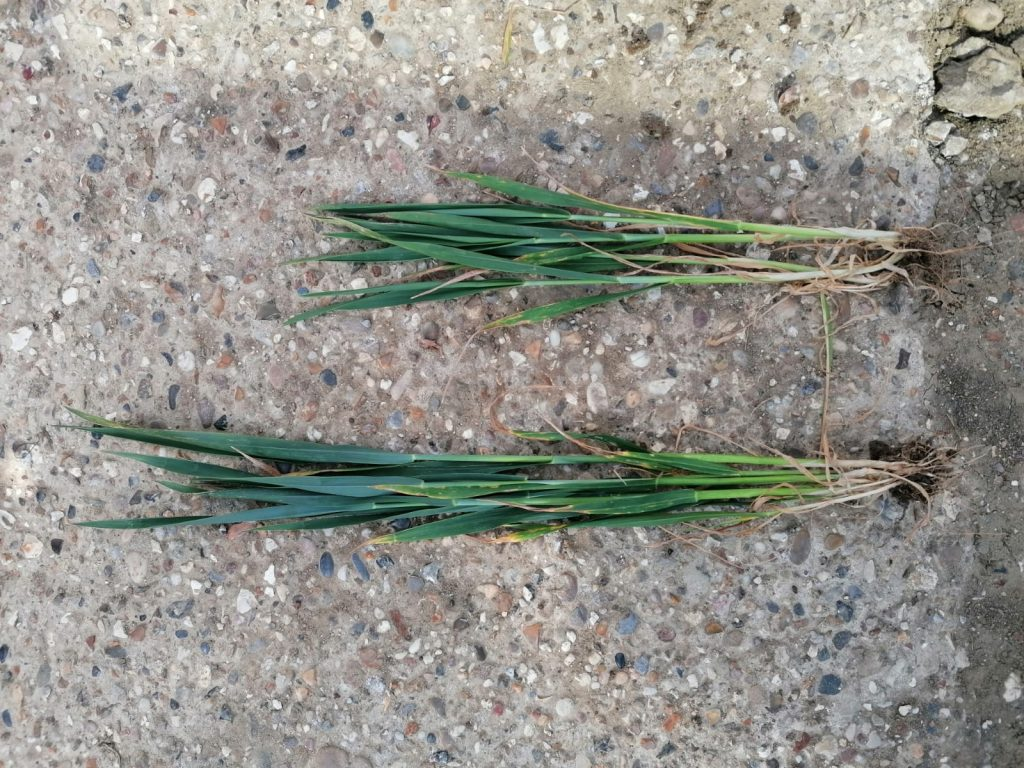 The Advanshield difference in a dry spring